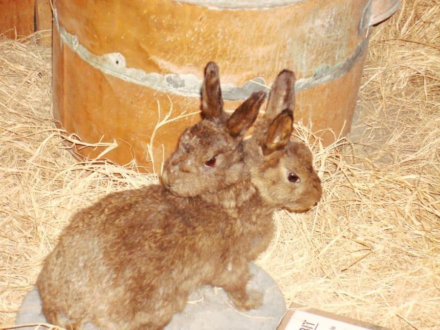 ארנב בעל שני ראשים – מוזיאון Ripley's Believe It or Not סיינט אוגוסטין פלורידה